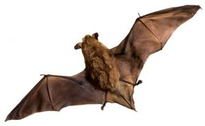 bat removal burlington