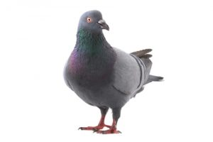 pigeon removal burlington