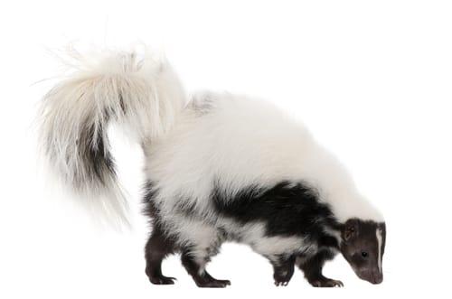 skunk removal burlington