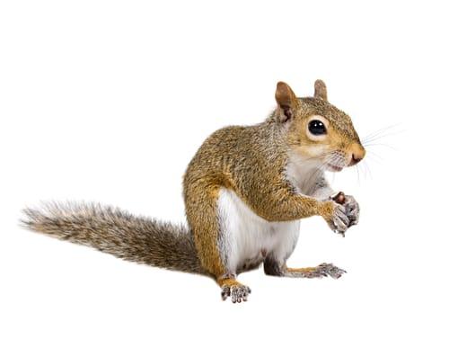 squirrel removal burlington